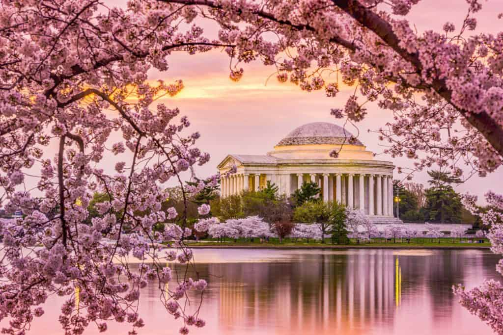 DC Cherry Blossoms next to Jefferson Memorial